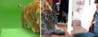 在你的视频里添加一只老虎,AE抠像教学
