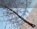 0239_Thinking_Particle_Sakura_Simulation_Banner